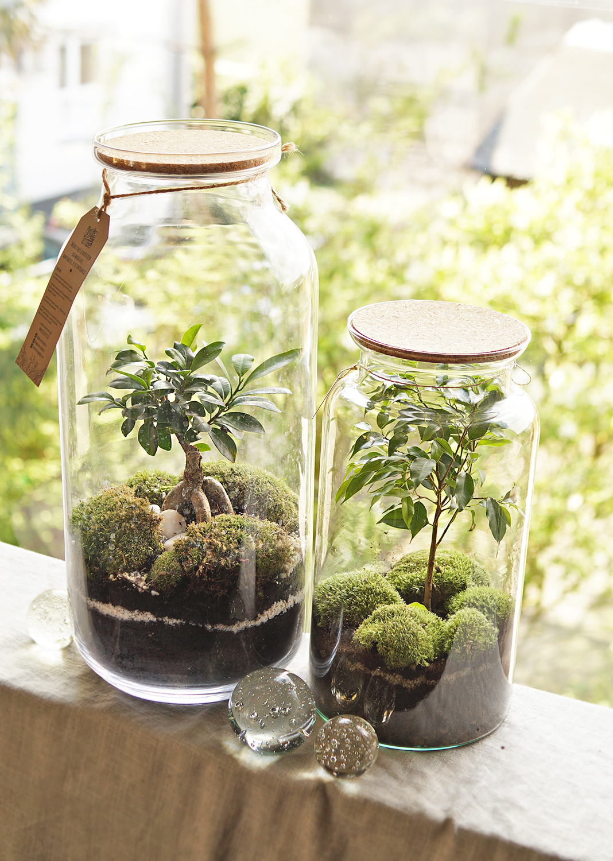 kompozycje z fikusowymi bonsai zamknięte w szkalnych słojach